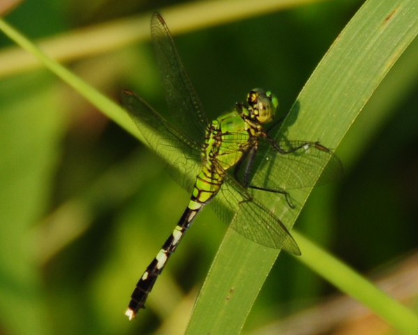 Green Dragonfly © 2009 Robert Barrett