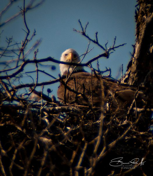 Llano Texas Eagle 6, © Copyright 2012, Robert D. Barrett