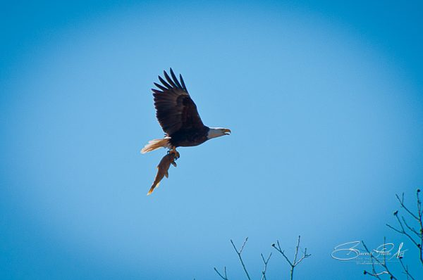 Llano Texas Eagles, © copyright 2012, Robert D. Barrett