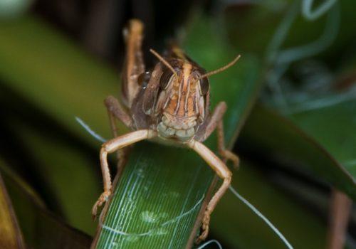 Grasshopper 3 500x350 - Grasshopper Ham...