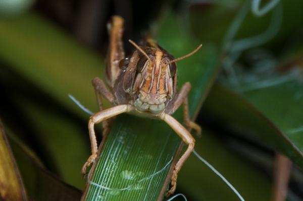 Grasshopper 3 - Grasshopper Ham...