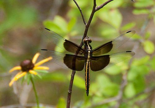 DSC 5887 340 Edit 500x350 - Dragonflies...