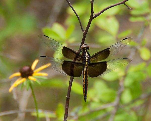 DSC 5887 340 Edit - Dragonflies...