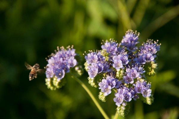 Spring Bee, © 2010 Barrett Photo Art