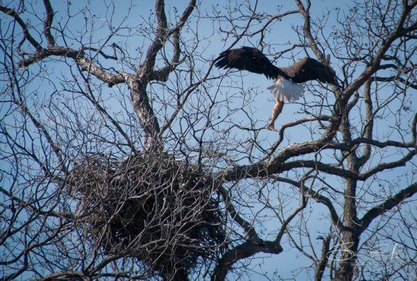 DSC 2819 600x405 - Llano Texas Eagles Nest...